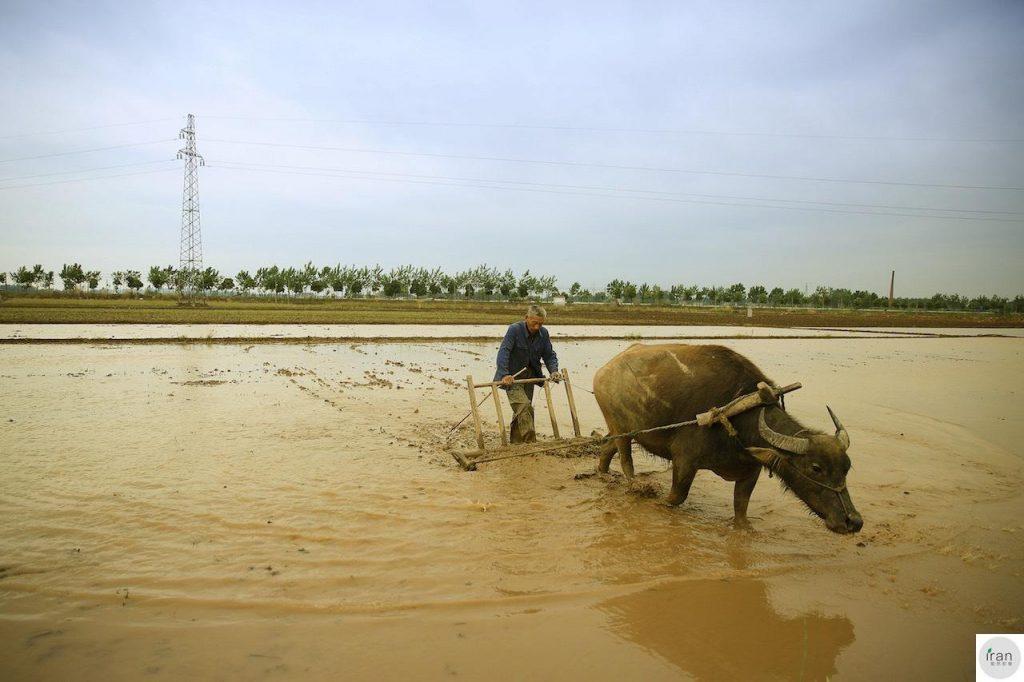 水牛在平原地区耕地